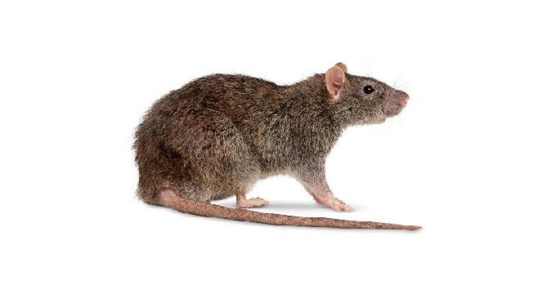 roedor